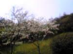 桜 002.jpg